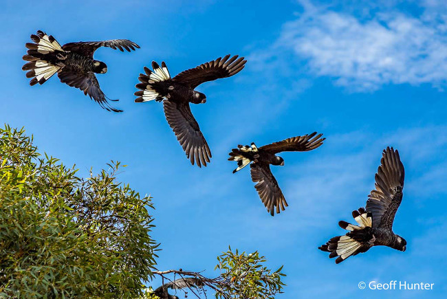 Finalist: 'Four in flight' – Carnaby's black cockatoos, by Geoff Hunter