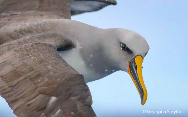Runner-up: 'Buller's Albatross' by Georgina Settler
