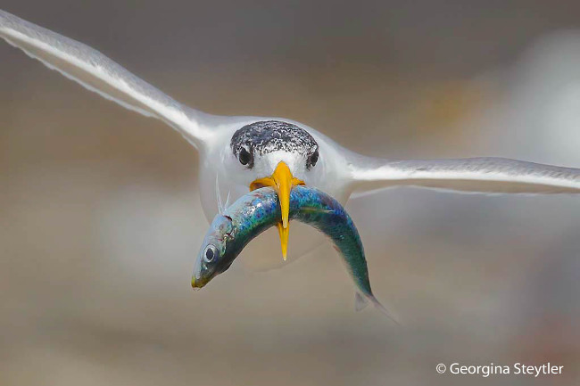 Finalist: 'A fishy present' - Crested tern, by Georgina Steytler 2016 Australian Geographic Nature Photographer of the Year