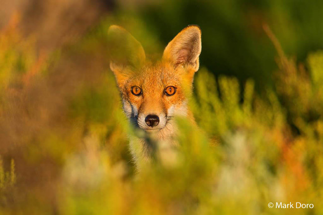 Finalist: 'Surprise' – Red fox, by Mark Doro