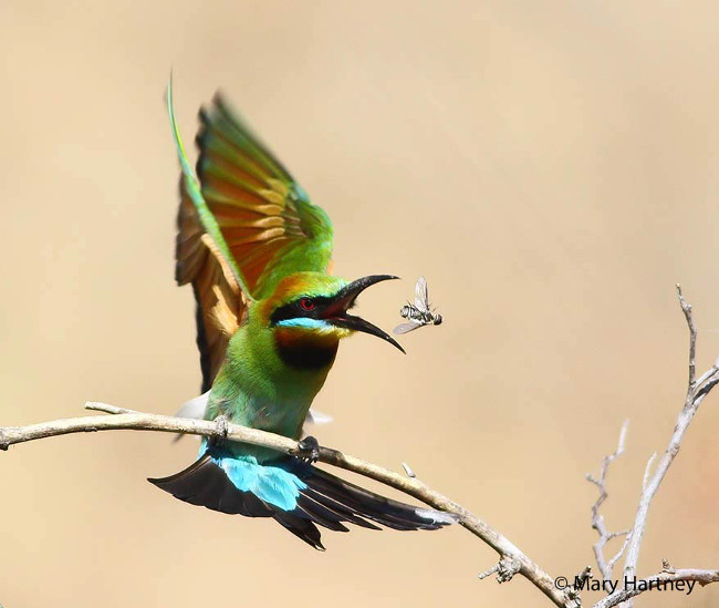 Finalist: Rainbow bee-eaters, Merops Ornatus – Mary Hartney 2016 Australian Geographic Nature Photographer of the Year