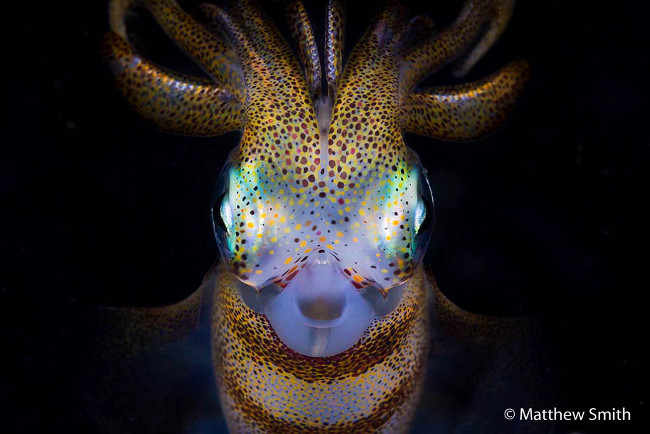 Nature photography Finalist (and our favourite): 'Celestial terrestrial' – Southern calamari squid, Matthew Smith 2016 Australian Geographic Nature Photographer of the Year