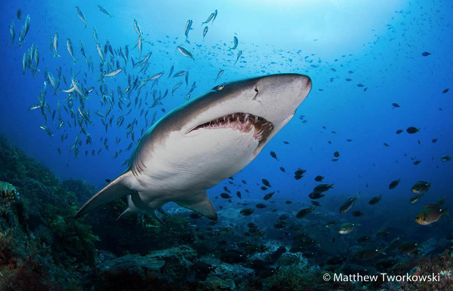 Finalist: 'Close encounter' – Grey nurse shark, by Matthew Tworkowski