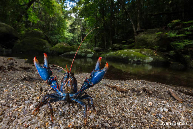 Finalist: 'Mount Lewis spiny crayfish' by Ryan Francis