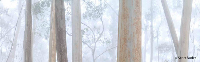 Finalist: 'A mist divided' – Eucalypt forest, by Scott Butler