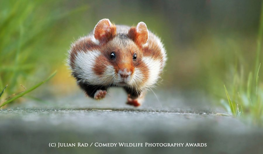 Rush Hour' by Julian Rad. © Julian Rad/Comedy Wildlife Photography Awards