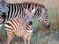 What sound does a zebra make? Ask Google right now