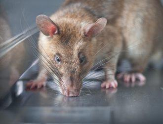 These giant rats are big heroes in health innovation
