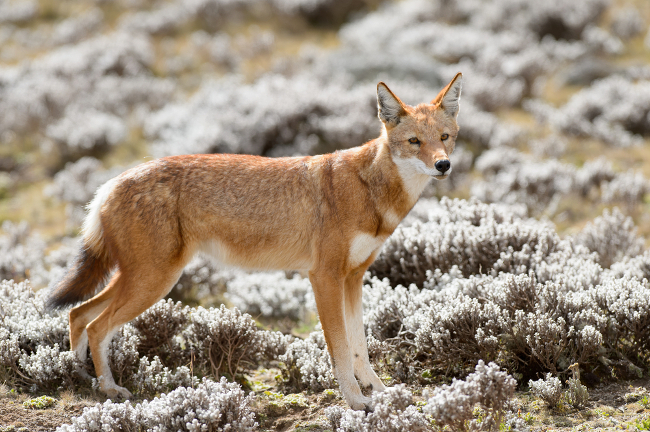 Ethiopian Wolf endangered species