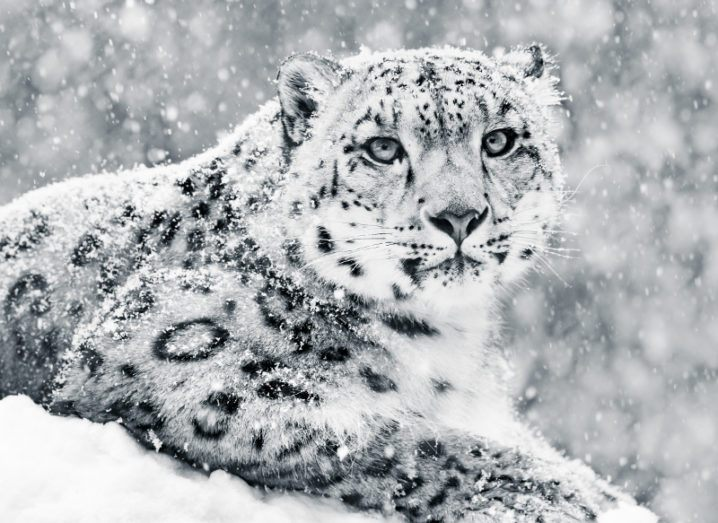 Snow Leopard endangered species
