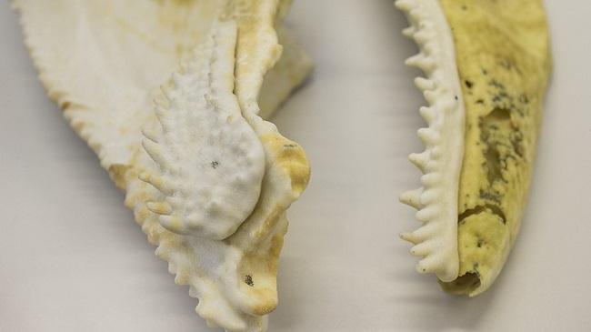 3D printed fish jaw