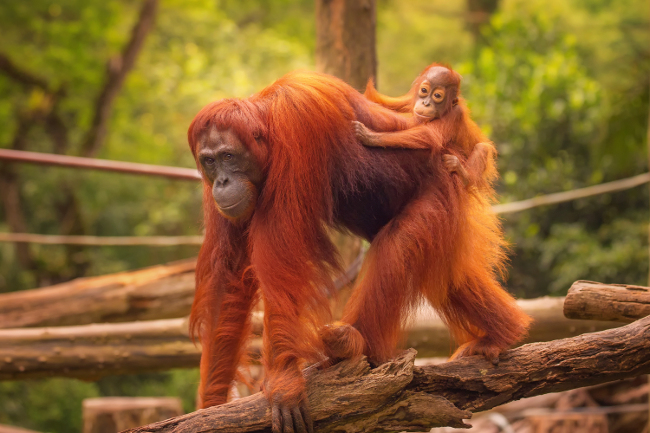 Orangutans are just about hanging in
