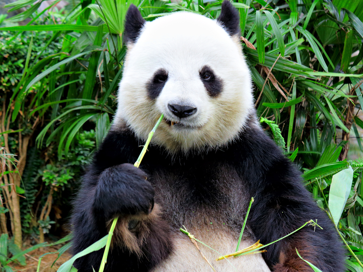 Latest extinction rankings are great for pandas, terrible for apes