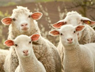 Hail to the sheep: Innovative chemical showers to combat pests