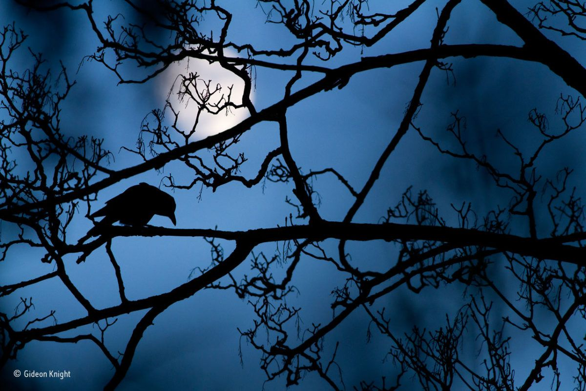The moon and the crow. Gideon Knight/Winner, Young Wildlife Photographer of the Year 2016