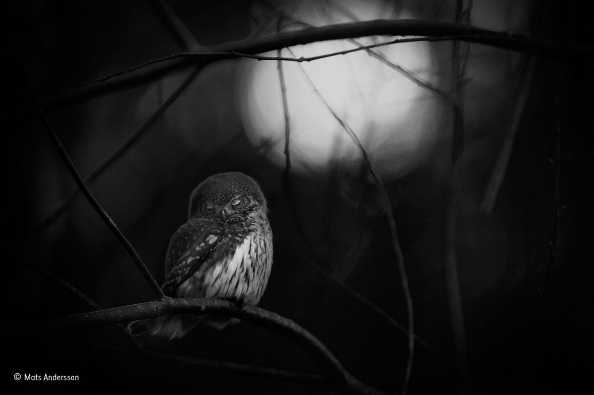 Requiem for an owl. Mats Andersson/Winner, Black and White