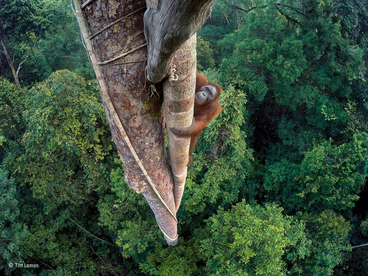 Entwined lives. Tim Laman/Winner, Wildlife Photographer of the Year 2016