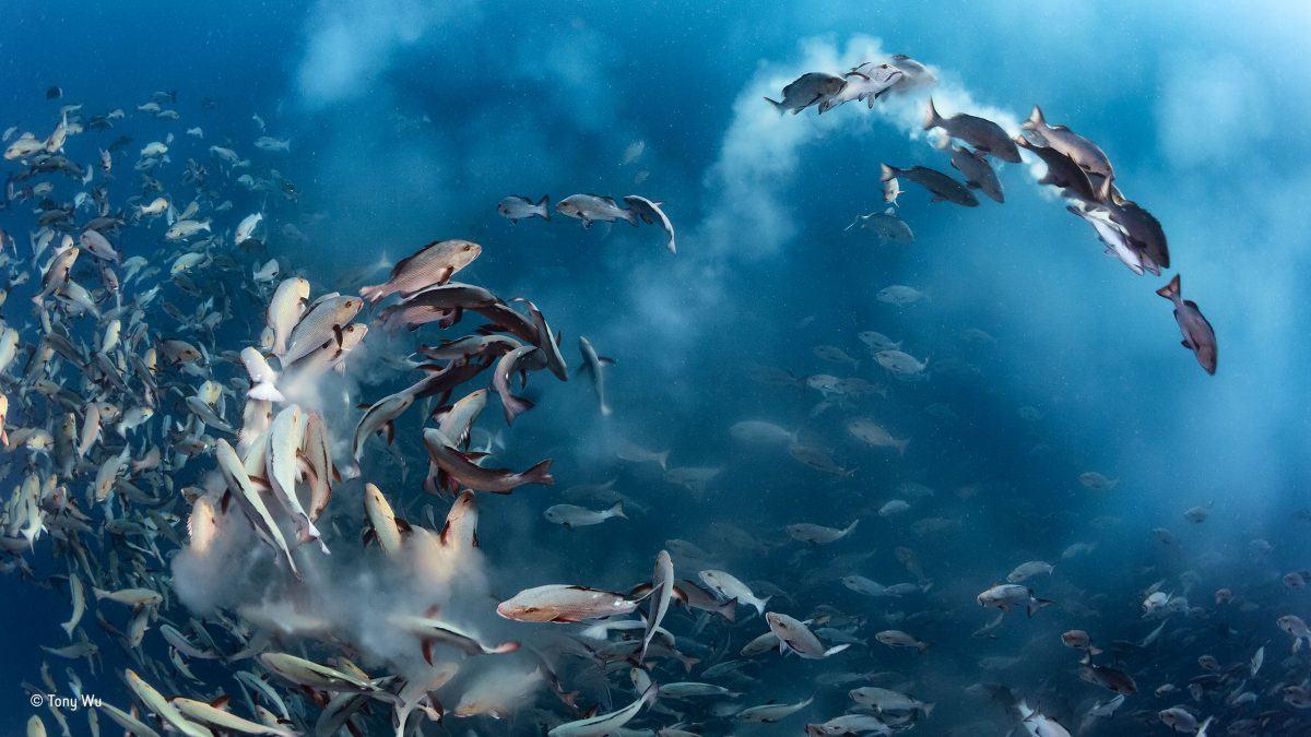 Snapper party. Tony Wu/Winner, Underwater