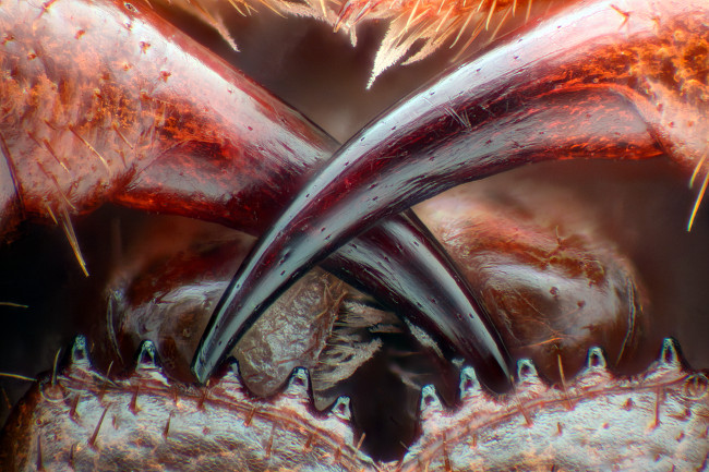 13th Place – Poison fangs of a centipede (Lithobius erythrocephalus) in fiber optic illumination/image stacking at 16x. Image: Walter Piorkowski/ Nikon Small World Photomicrography Competition