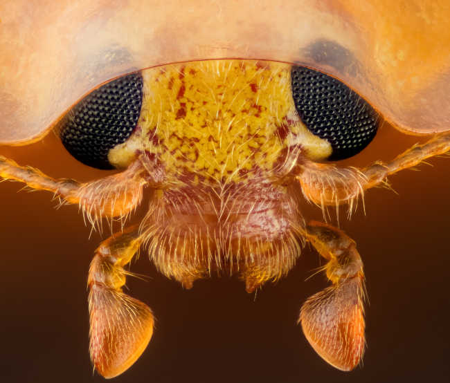 15th Place – Head section of an orange ladybird (Halyzia sedecimguttata) in reflected light/focus in stacking at 10x. Image: Geir Drange/ Nikon Small World Photomicrography Competition