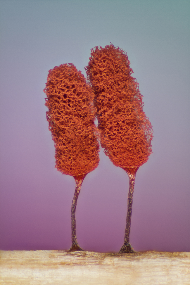 17th Place – Slime mold (Mixomicete) in image stacking/reflected light at 5x. Image: Jose Almodovar/ Nikon Small World Photomicrography Competition