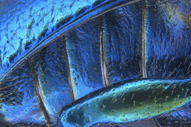 18th Place – Parts of wing-cover (elytron), abdominal segments and hind leg of a broad-shouldered leaf beetle (Oreina cacaliae) in stereomicroscopy, image stacking at 40x. Image: Pia Scanlon/ Nikon Small World Photomicrography Competition