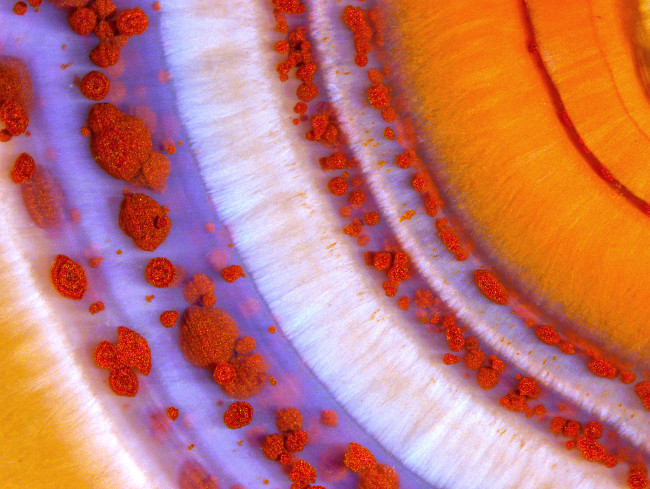2nd Place – Polished slab of Teepee Canyon agate in stereomicroscopy at 90x. Image: Douglas L. Moore/Nikon Small World Photomicrography Competition