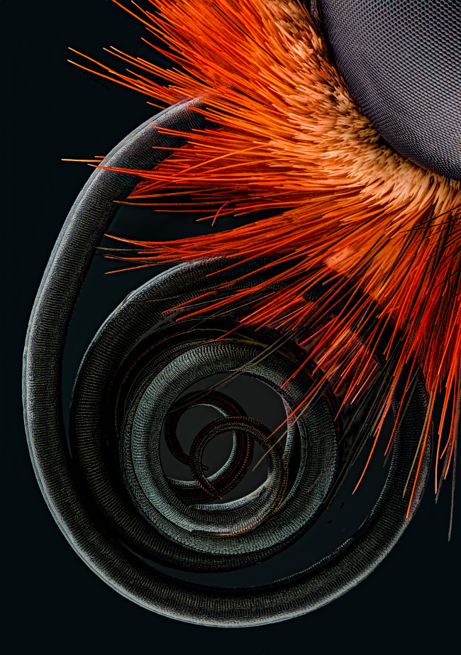 4th Place – Butterfly proboscis in image stacking at 6.3x. Image Jochen Schroeder/Nikon Small World Photomicrography Competition