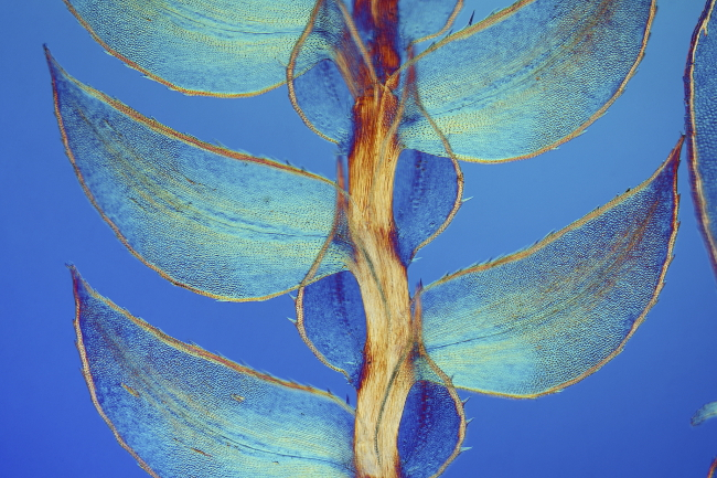 7th Place – Leaves of Selaginella (lesser club moss) in differential interference contrast at 40x. Image: Dr. David Maitland/ Nikon Small World Photomicrography Competition
