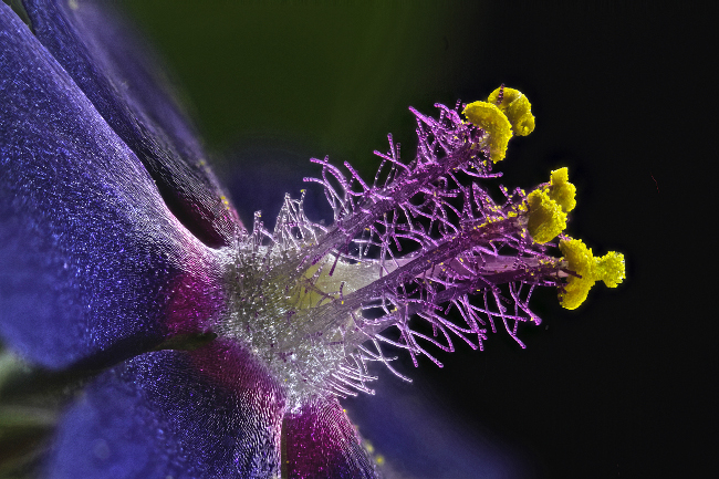 8th Place – Wildflower stamens in fiber optic illumination at 40x. Image: Samuel Silberman/ Nikon Small World Photomicrography Competition