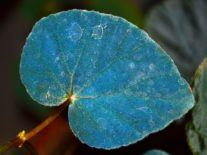 Blue begonias use quantum mechanics to survive on forest floor