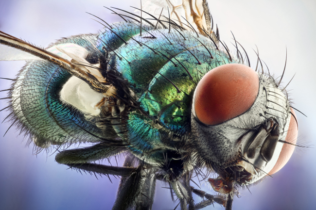 Green bottle fly, in image stacking at 10x. Image: Erno Endre Gergley/Nikon Small World Photomicrography Competition