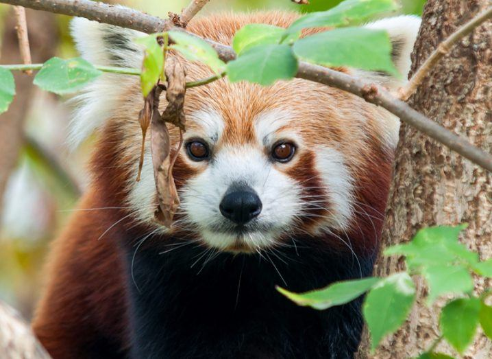 Global wildlife population red panda