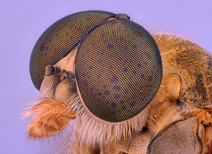 Robber fly in macroscopy, at 30x. Image: Jan Rosenboom/Nikon Small World Photomicrography Competition