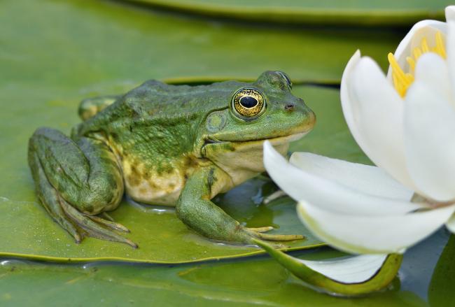 Hamilton: frog on pond