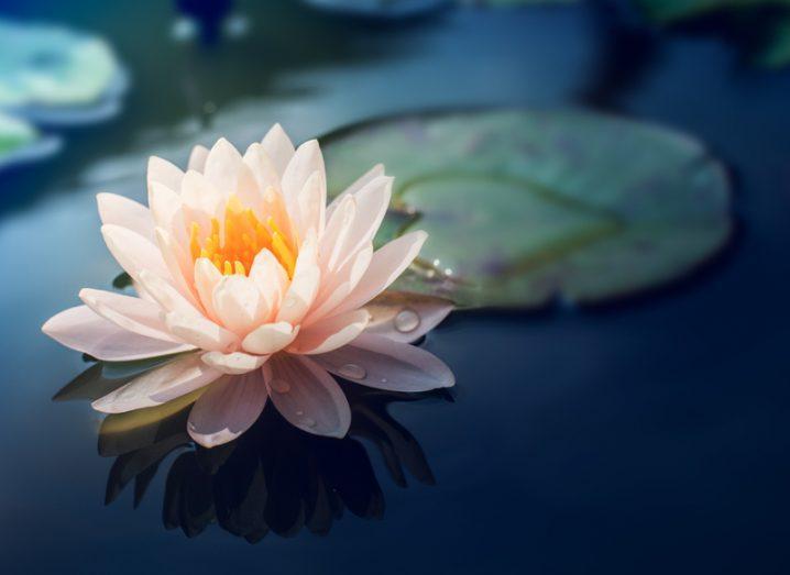 Hamilton path lotus