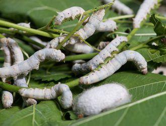 Graphene-munching silkworms make tougher, conductive silk