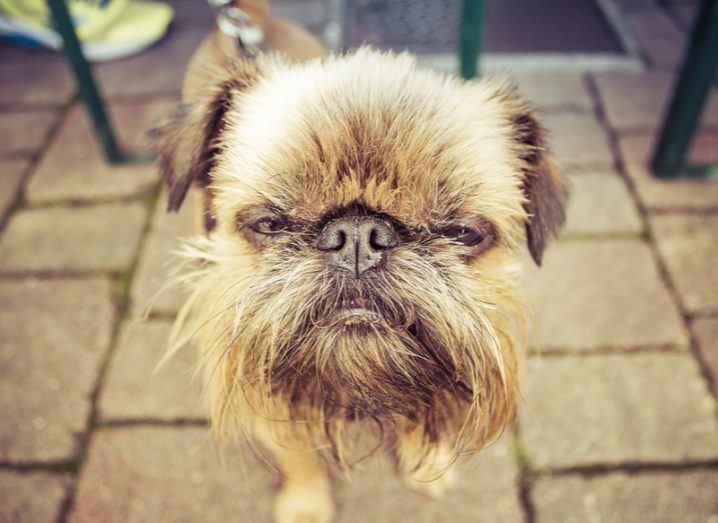 Memory annoyed dog