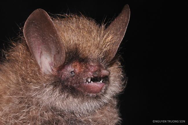 Wooly-headed bat – Murina kontumensis. Image: Nguyen Truong Son