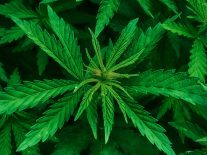 Ireland merely returning to its medicinal cannabis roots
