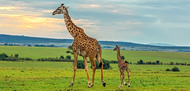 A pair of giraffes. Image: Nick Fox/Shutterstock