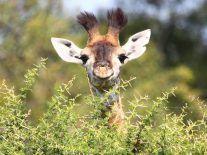 Giraffe numbers plummet as wildlife study paints grim picture