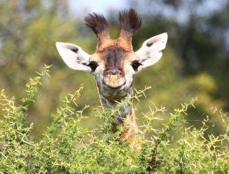 Giraffe numbers plummet as wildlife study paints grim picture