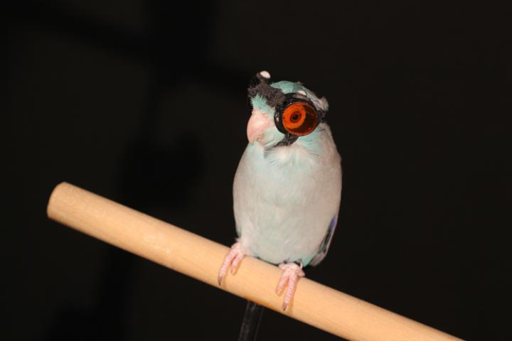 Obi the parrotlet wearing protective goggles. Image: Eric Gutierrez