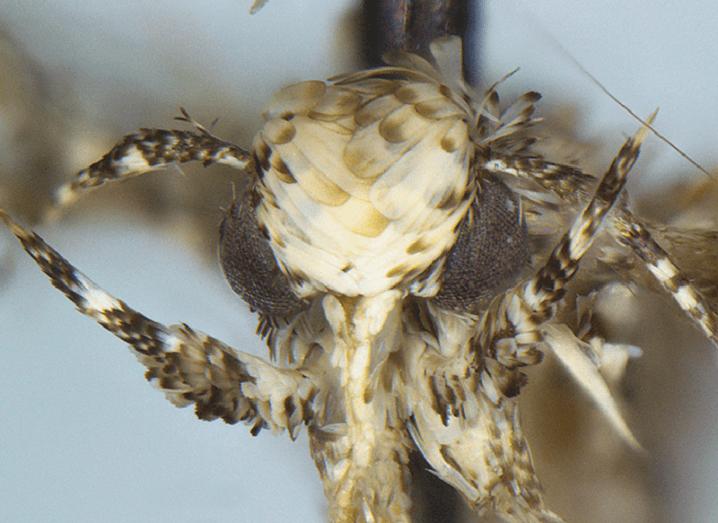 Moth Donald Trump