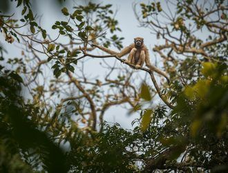 Newly discovered species of gibbon named after Star Wars icon