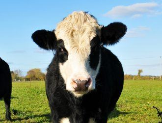 China researchers use CRISPR to develop TB-resistant cows