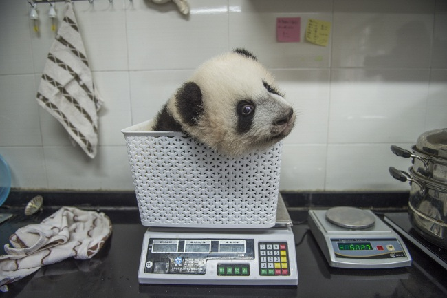 A cub gets weighed at Bifengxia. In the wild, once they've grown to adulthood, female pandas may weigh up to 220 pounds and males up to 250 pounds, and they'll range from four to six feet long. Image: Ami Vitale, United States of America, Shortlist, Professional, Natural World, 2017 Sony World Photography Awards