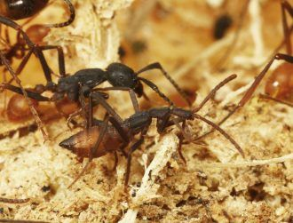 Murderous beetles have been tricking ants for millennia