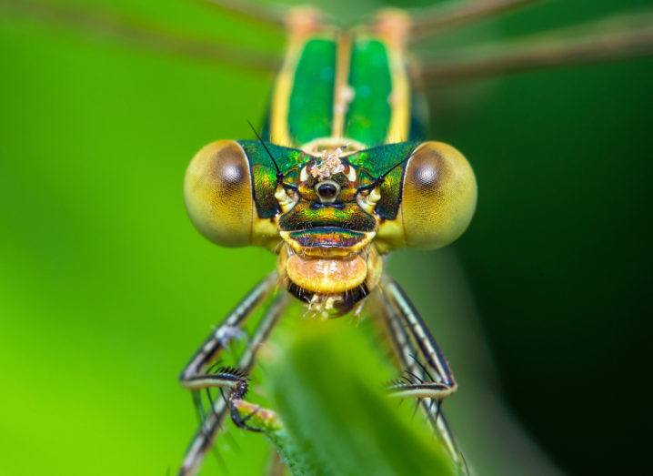 Modern damselflies don't seem to enjoy such a leg fetish as their Cretaceous-Era cousins. Image: nechaevkon/Shutterstock